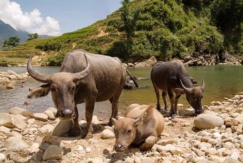 Búfalos de agua a la espera de bañarse contigo