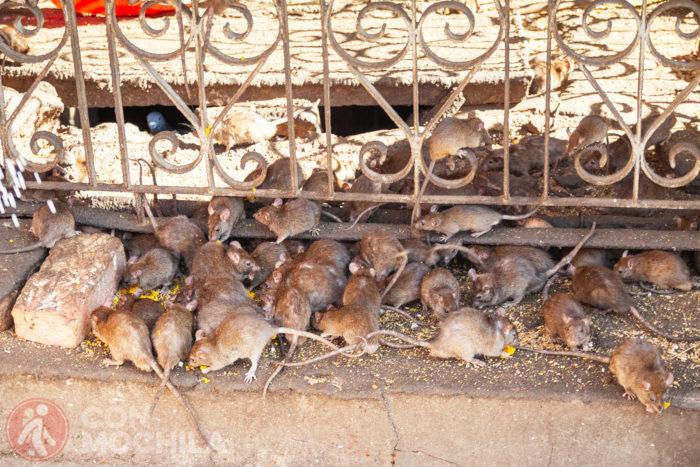 Ratas y más ratas