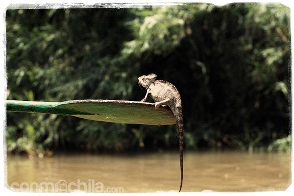 El camaleón en cuestión