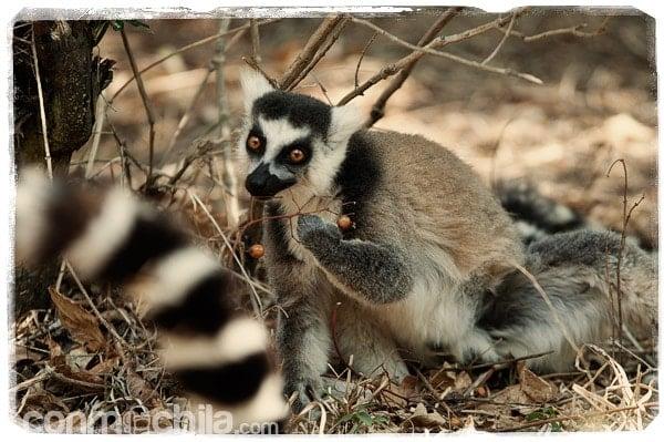 Otro lemur