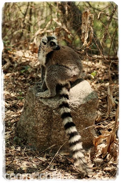 Lemur en su trono