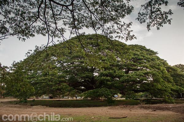 Vista general de la acacia gigante (Giant Monkey Pod Tree)