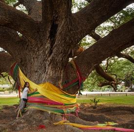 Giant Monkey Pod Tree, la acacia gigante de Tailandia
