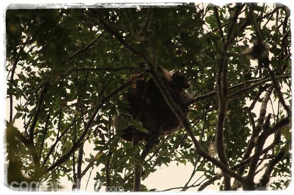 Los revoltosos lemures