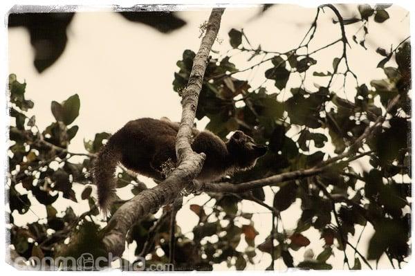 Uno de los lemures en la rama