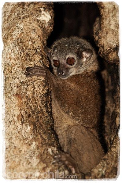 El pobre lemur nocturno