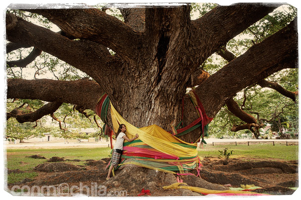 Abrazando a la acacia gigante