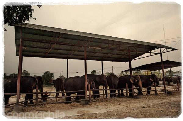 "La ""granja"" de elefantes de Ayutthaya"