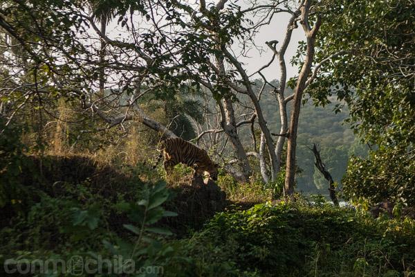 Un tigre de los que vimos