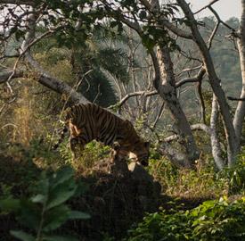 Ranthambhore reserva de tigres en India