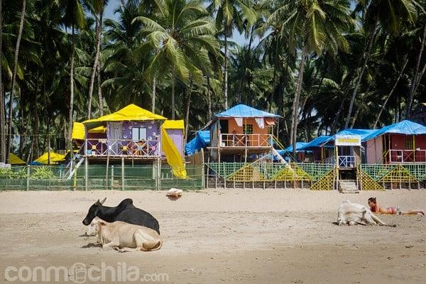 Vacas y bungalows, escena típica en las playas de Goa