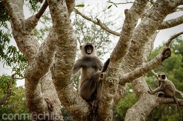 Uno de los monos intentando decirnos algo