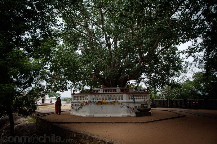 El árbol que hay frente al Buda de Avukana