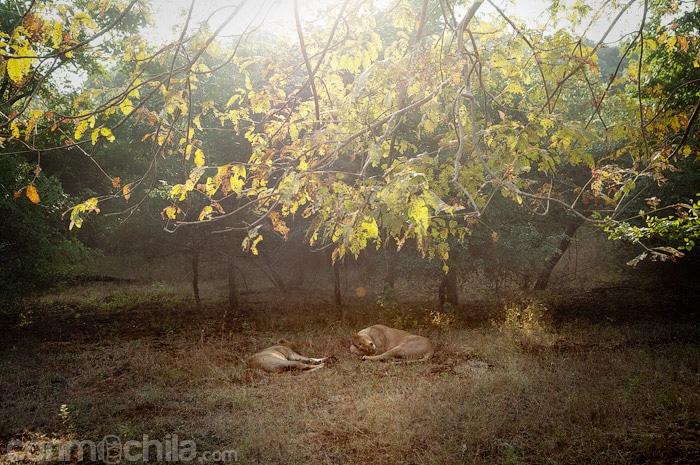 La pareja de leones descansando en el parque nacional Gir
