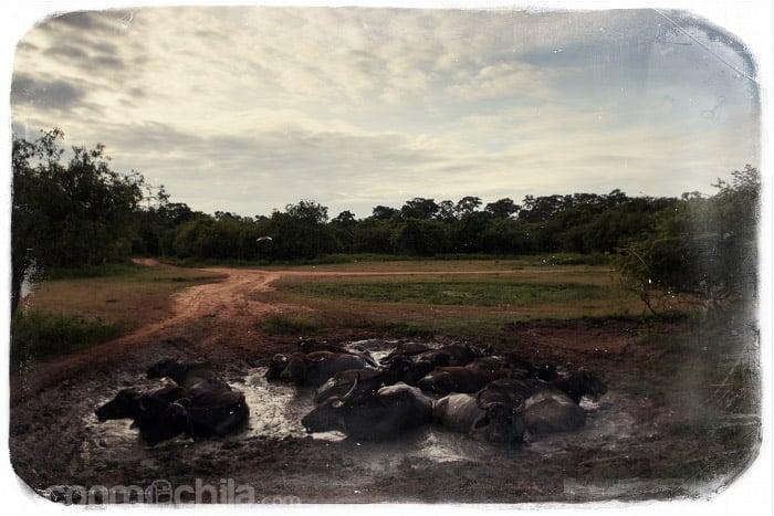 Los búfalos de agua salvajes dándose un baño
