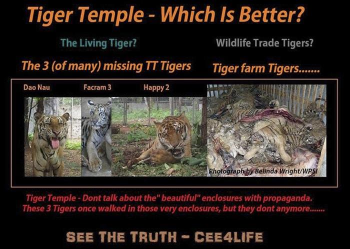 Según sus últimas declaraciones, los monjes admiten que estos tigres fueron vendidos y están ya muertos