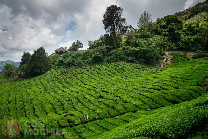 Los populares campos de té de Cameron Highlands