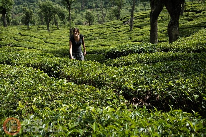 Recorriendo las plantaciones de té