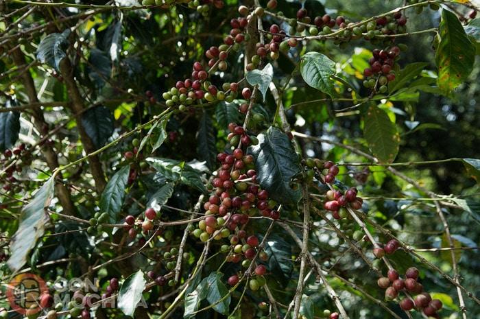 Plantaciones de café