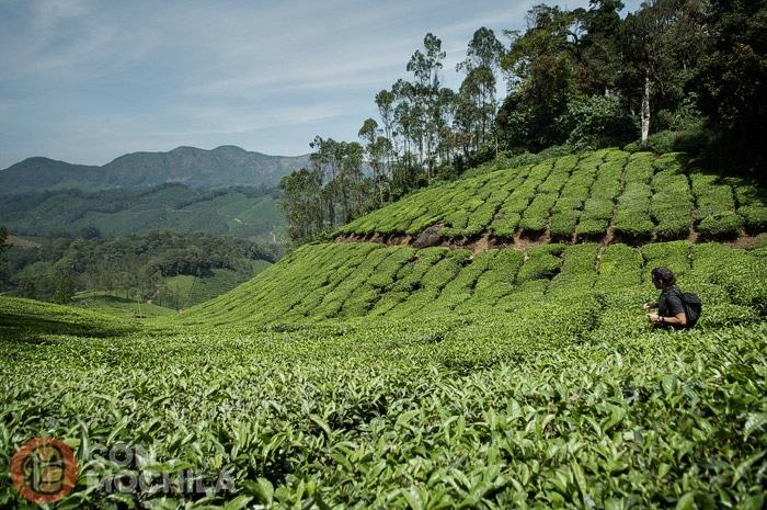 Vuelven a aparecer las plantaciones de té