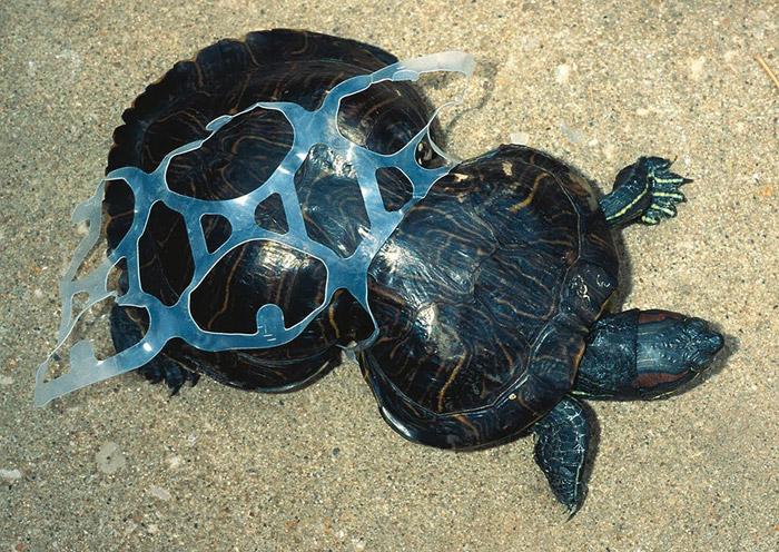 Tortuga atrapada en plástico