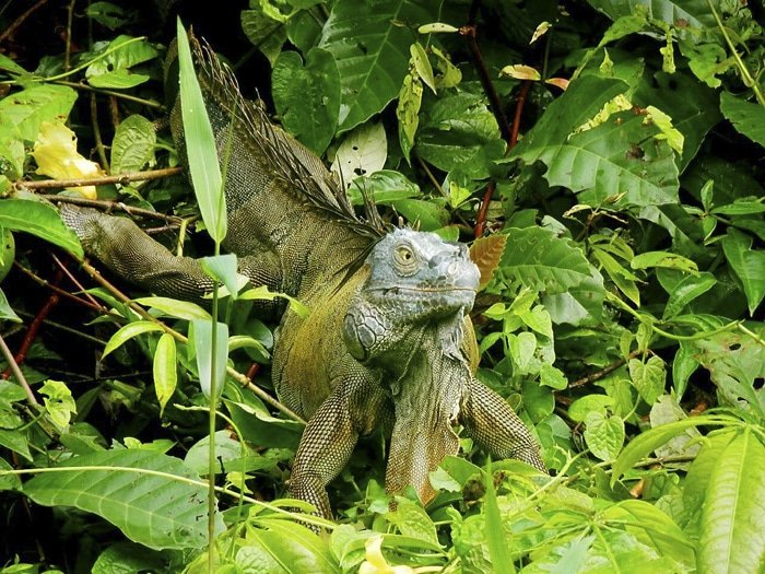 Iguana del Parque Nacional de Tortuguero