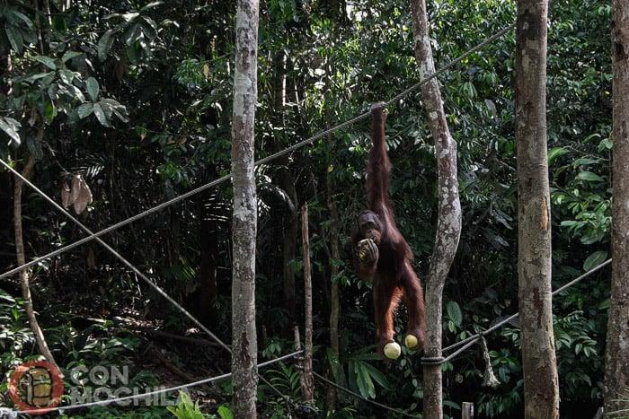 El precioso orangután