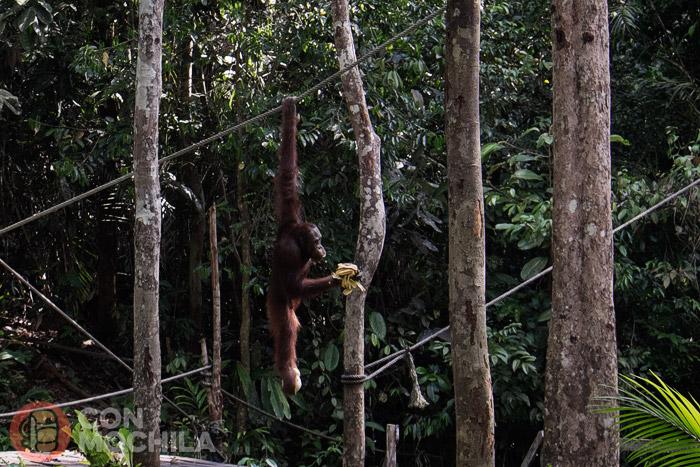 El orangután con sus plátanos