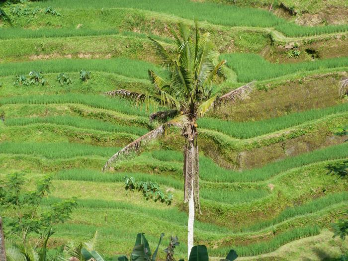 Itinerario de viaje a Indonesia: Campos de arroz de Ceking Tegallalang