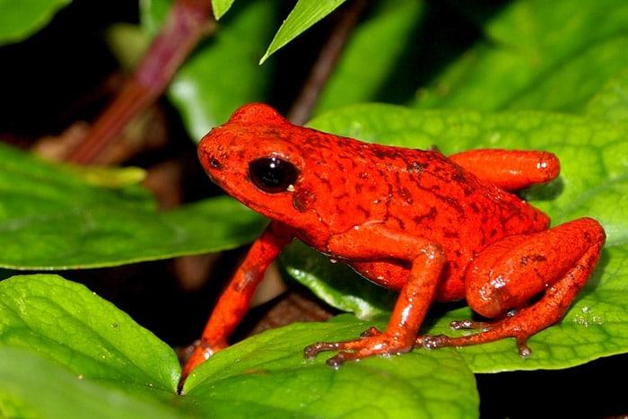Rana de flecha roja Oophaga pumilio Schmidt (Reserva Indígena de Bribri-Costa Rica)