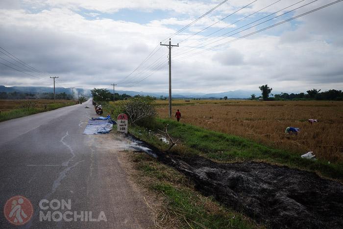 La sega del arroz en Luang Namtha