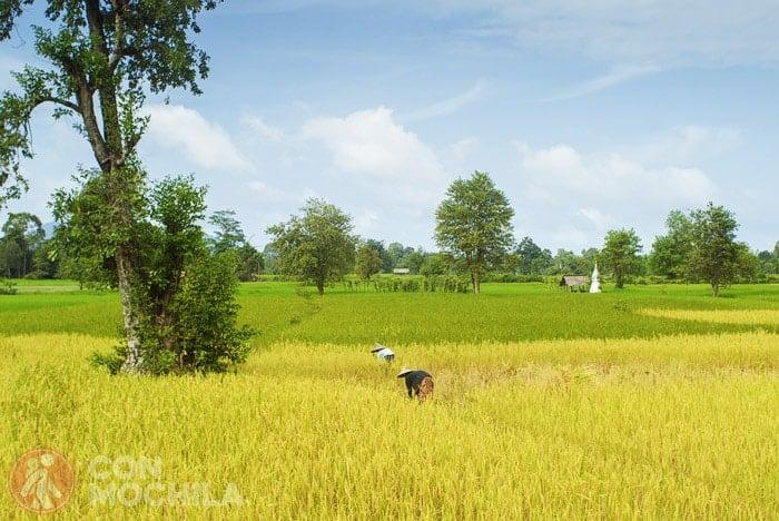 Campos de arroz en Laos