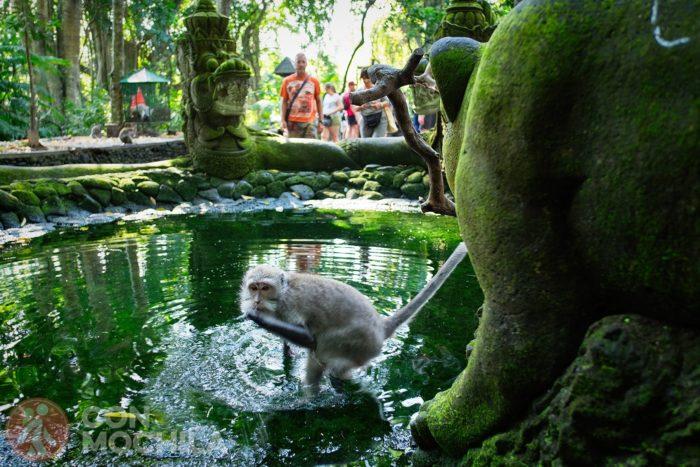 Uno de los monos bebiendo de una bonita fuente del santuario