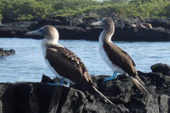 Piqueros de patas azules en las Islas Galápagos
