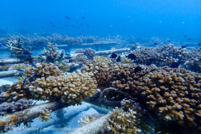 Rehabilitación de corales en la isla de Redang, Malaysia.