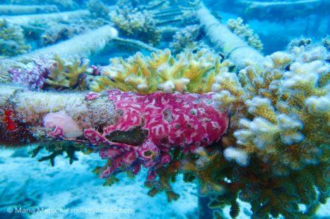 Corales y esponjas empiezan a colonizar la estructura del arrecife artificial.
