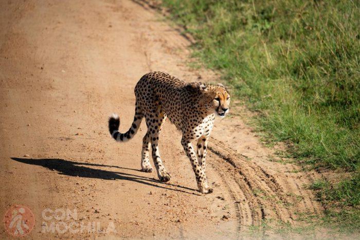 El primer guepardo que vimos cerca de la entrada