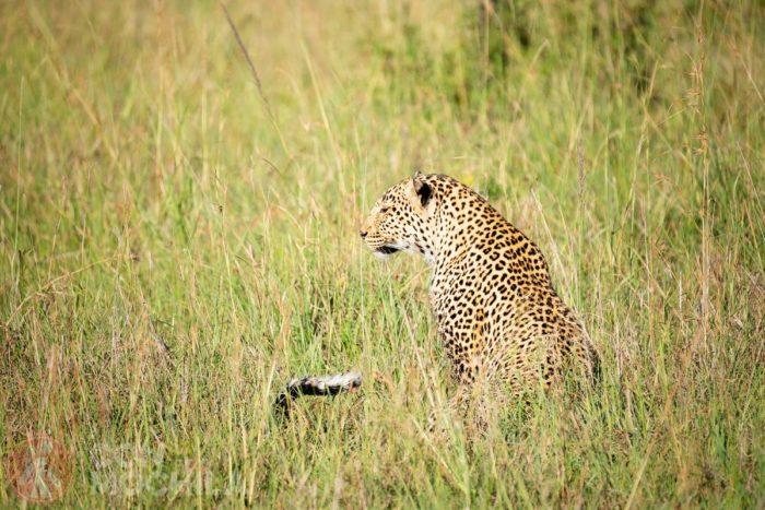 Leopardo a sus cosas