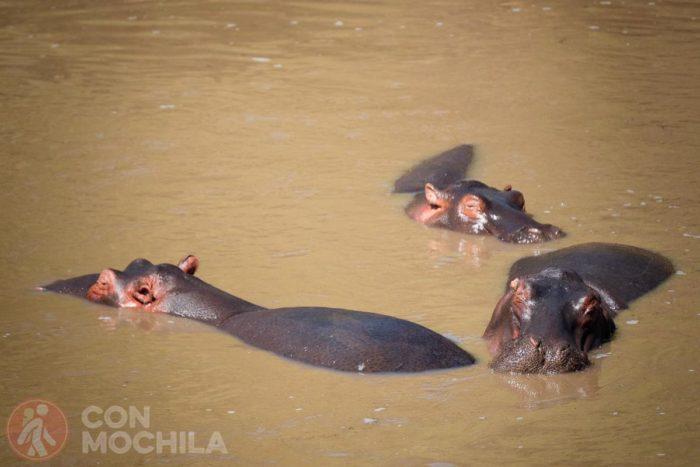 Tres hipopótamos dándose un bañito
