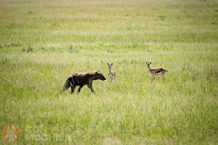 Dos gacelas de Thomson observando a una hiena
