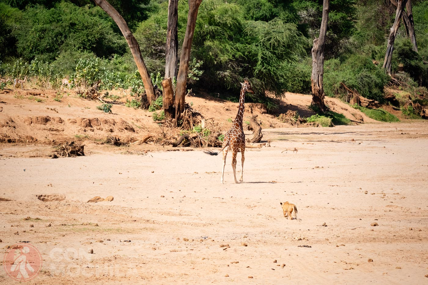 La jirafa ve a la leona y empieza a correr