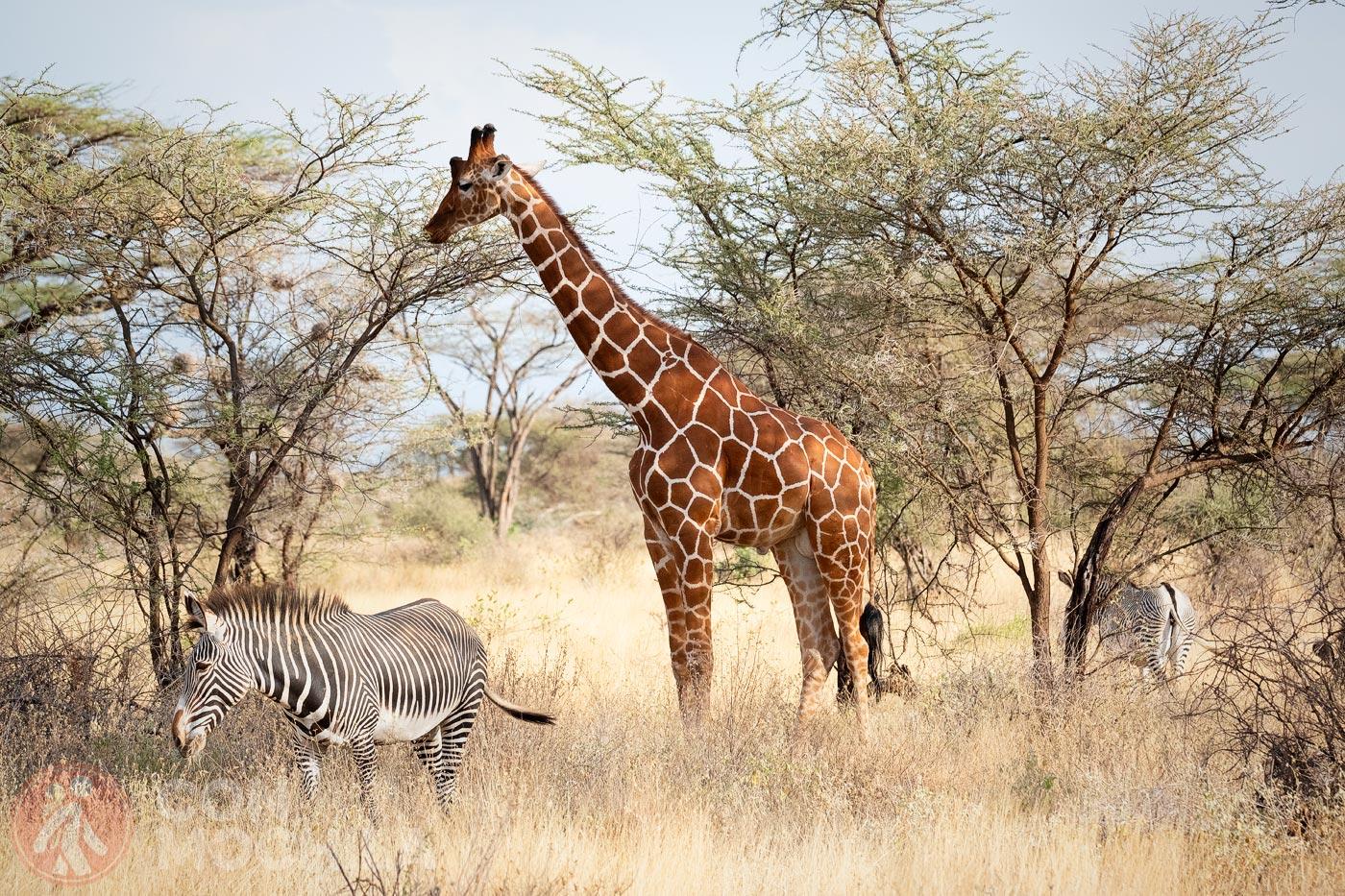 Jirafa entre zebras