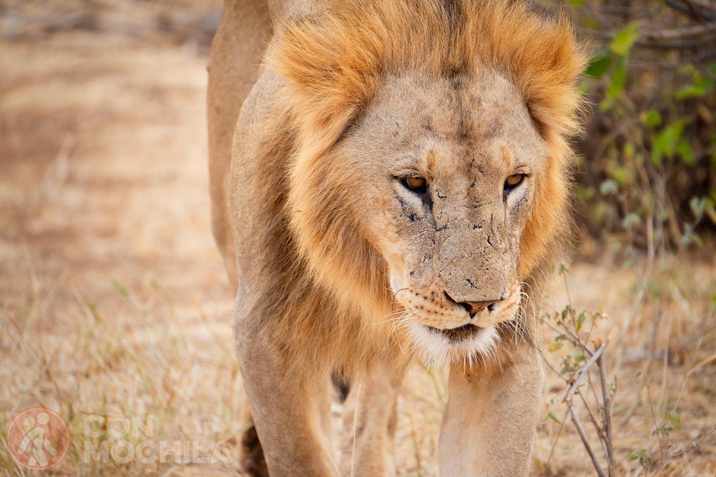Un león a escasos metros de nuestro vehículo
