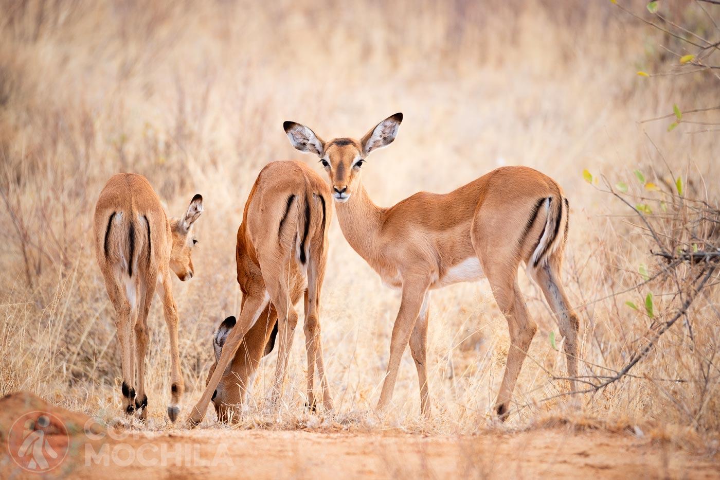 Hembras impala