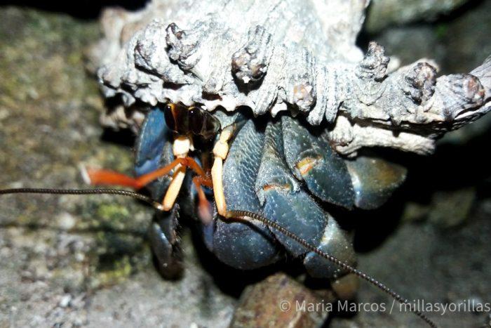 """Cangrejo ermitaño en Filipinas, que salen por la noche a buscar alimento con su """"casa"""" a cuestas."""