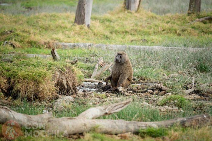 También encontrarás muchos babuinos